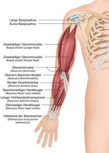Anatomie des menschlichen Arms, Vorderansicht komplett