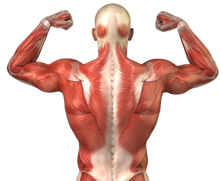 Male back muscular system anatomy in body-builder pose - Millennium ...